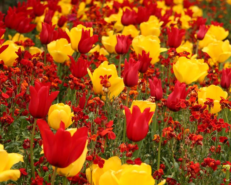 A garden of tulips and wallflowers