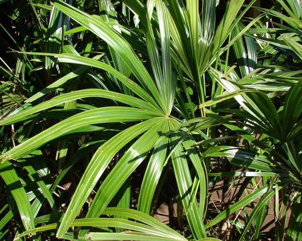 A picture of a Bamboo Palm