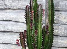 A green Euphorbia trigona plant in a pot next to a building