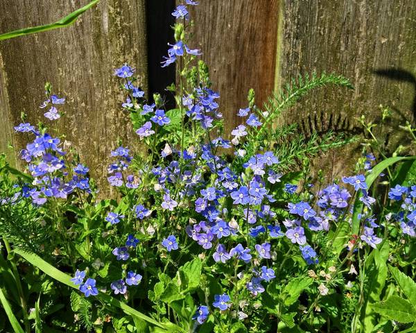 A picture of a Speedwell