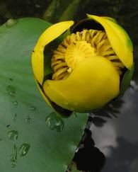 A photo of Yellow Water Lily