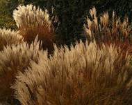 A photo of Chinese Silvergrass