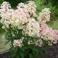 Hydrangea Wims Red 3lt
