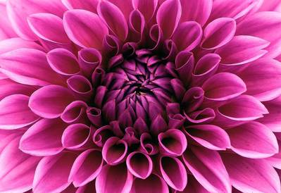 A close up of the centre of a beautiful purple-pink dahlia flower