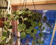 A photo of Round Leaf Peperomia