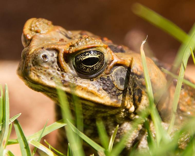 A rather grumpy-looking young toad in the grass of a wildlife garden