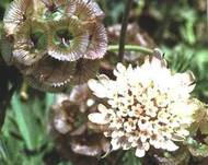A photo of Drumstick Scabious