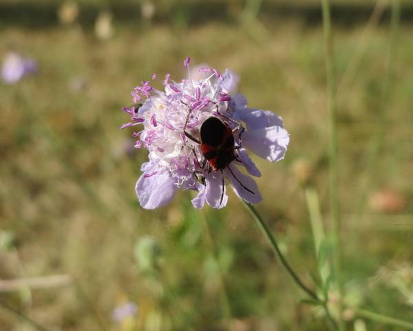 A picture of a Scabiosa canescens