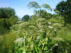 Some Heracleum plants with white flowers and green leaves growing in the wild