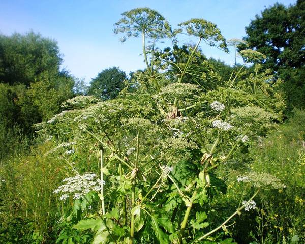 A picture of a Common Hogweed