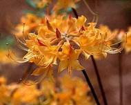 A photo of Rhododendron austrinum