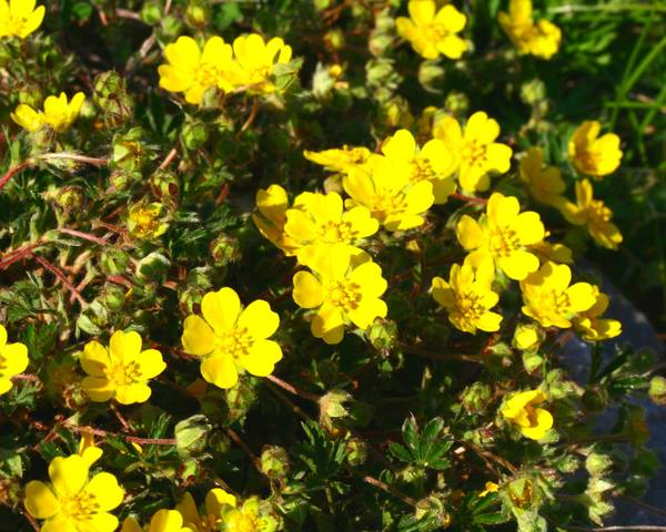 A picture of a Creeping Cinquefoil