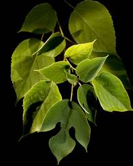 A photo of Paper mulberry