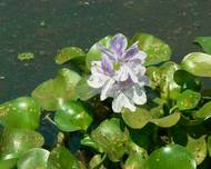 Common Water Hyacinth (405615687)