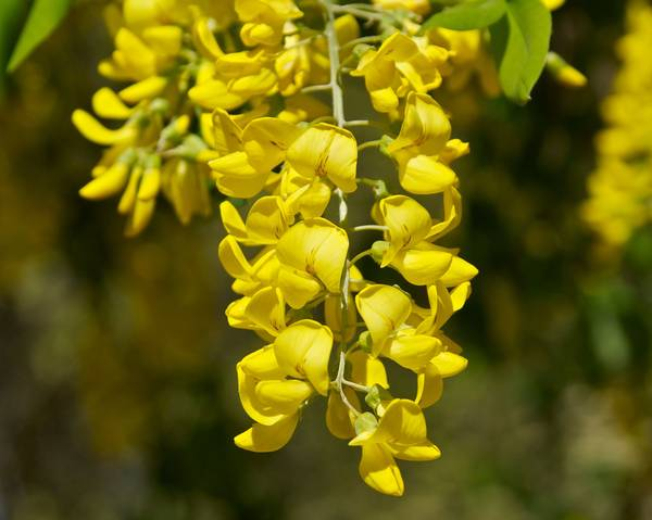 A picture of a Laburnum