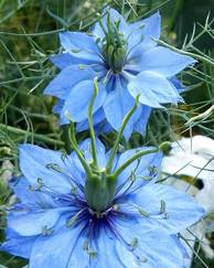 A photo of Nigella