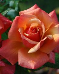 Roses: Types, Pruning and Transplanting