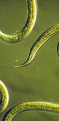 A photo of Nematode