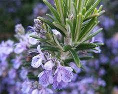 A close up of some purple Rosmarinus offcinalis flowers and green leaves