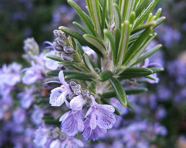 A picture of a Rosemary