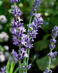 A photo of English Lavender