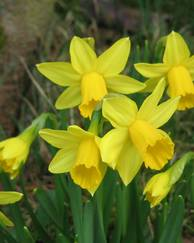 A photo of Daffodil