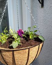 Pre Planted Autumn / Spring Hanging baskets