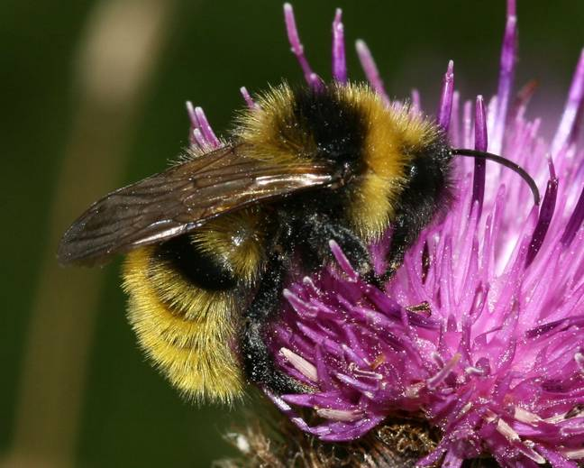 A close up of a flower Field Cuckoo Bumblebee Bombus campestris on thistle