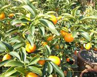 A photo of Kumquat