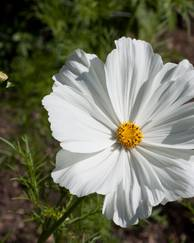 A photo of Cosmos 'Sonata White'