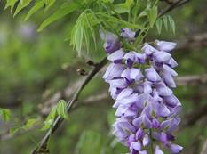 Some purple flowers on a Wisteria frutescens plant