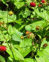 A photo of Alpine Strawberry