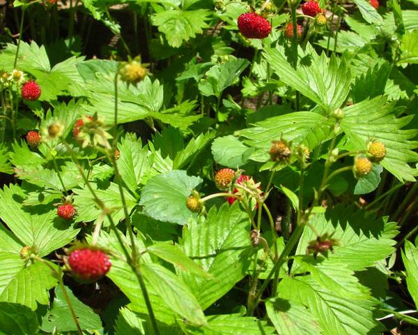 A picture of a Alpine Strawberry
