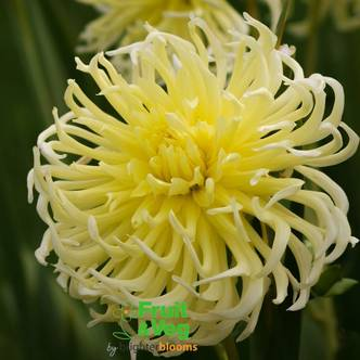 Dahlia 'Yellow Star' Tuber