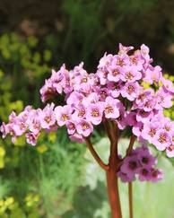 A photo of Bergenia 'Pink Dragonfly'