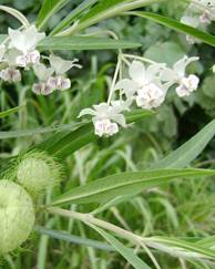 A photo of Balloon Milkweed