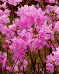 A photo of Rhododendron dauricum 'Mid-winter'