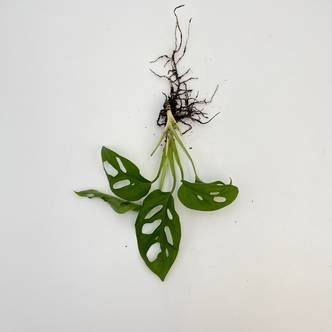 Monstera Adansonii (Swiss Cheese Monstera) Rooted Cutting