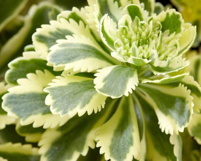 A close up of a Sedum 'Atlantis' plant with variegated leaves