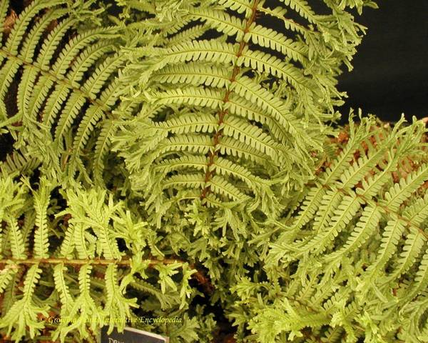 A picture of a Male fern
