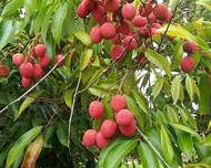 Litchi chinensis fruits