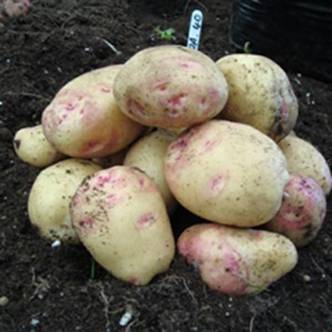 Potato tubers. Main Crop. CARA