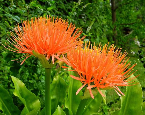 A picture of a Blood lily