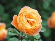 A close up of an orange flower and some green leaves on a Rosa 'Lady Emma Hamilton' rose plant