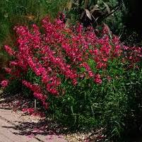 Penstemon 'Port Wine' 9cm x3