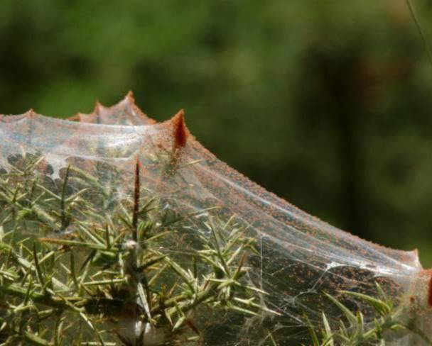 A close up image of spider mites Tetranychidae in a plant