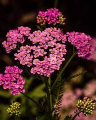 A photo of Yarrow