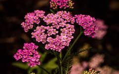 A photo of Achillea