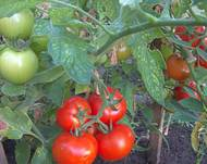 Some red and green Solanum lycopersicum tomatoes in a garden