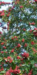 A photo of Cotoneaster 'Cornubia'